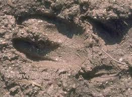 wild hog tracks